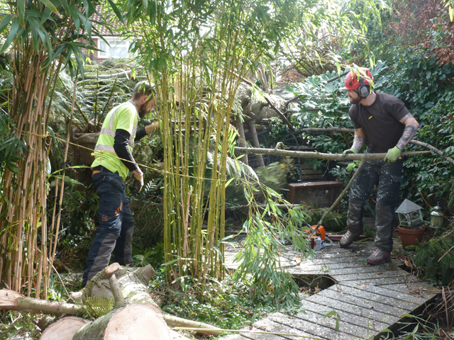 ... the guys were so considerate as  they worked around our precious bamboos